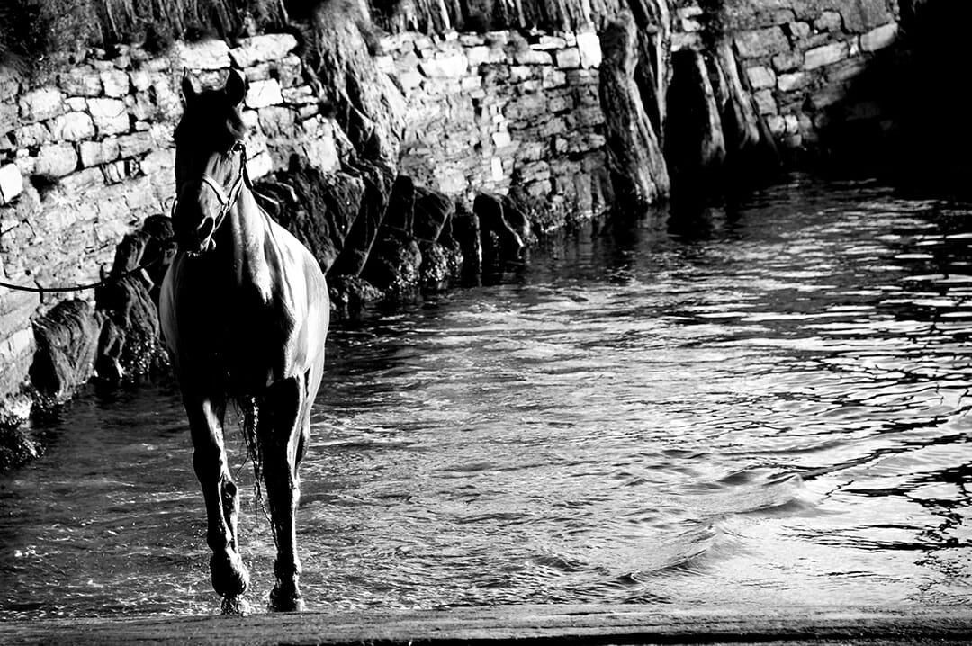 Horse coming out of water